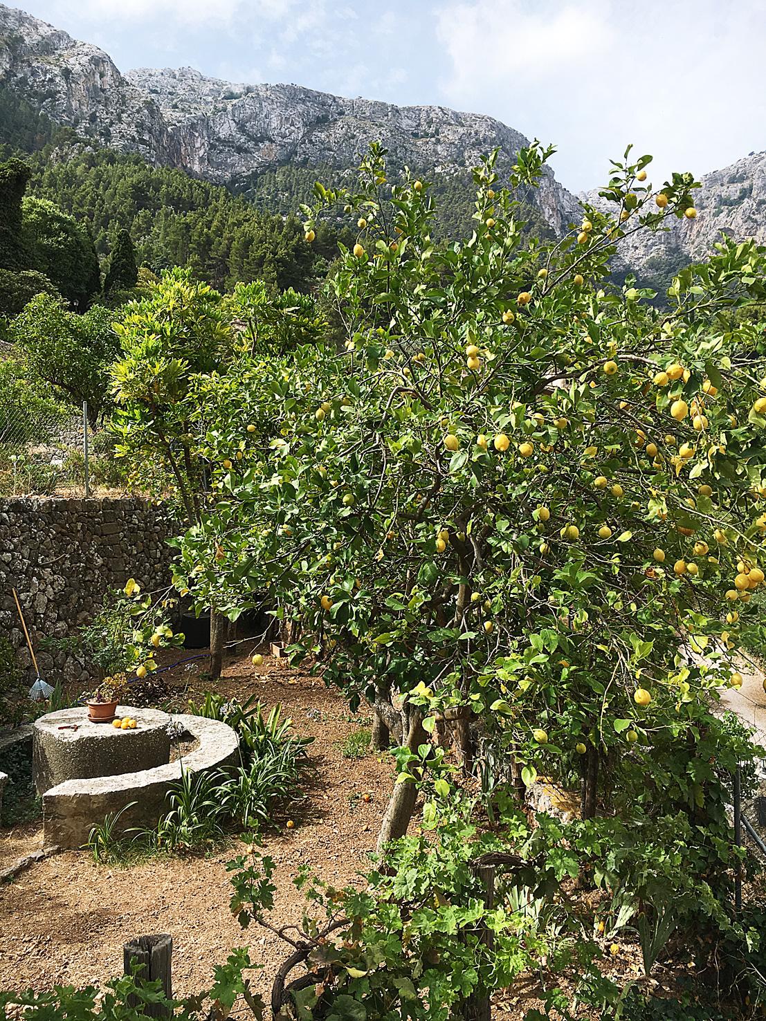 Citronlund i Deia, Mallorca