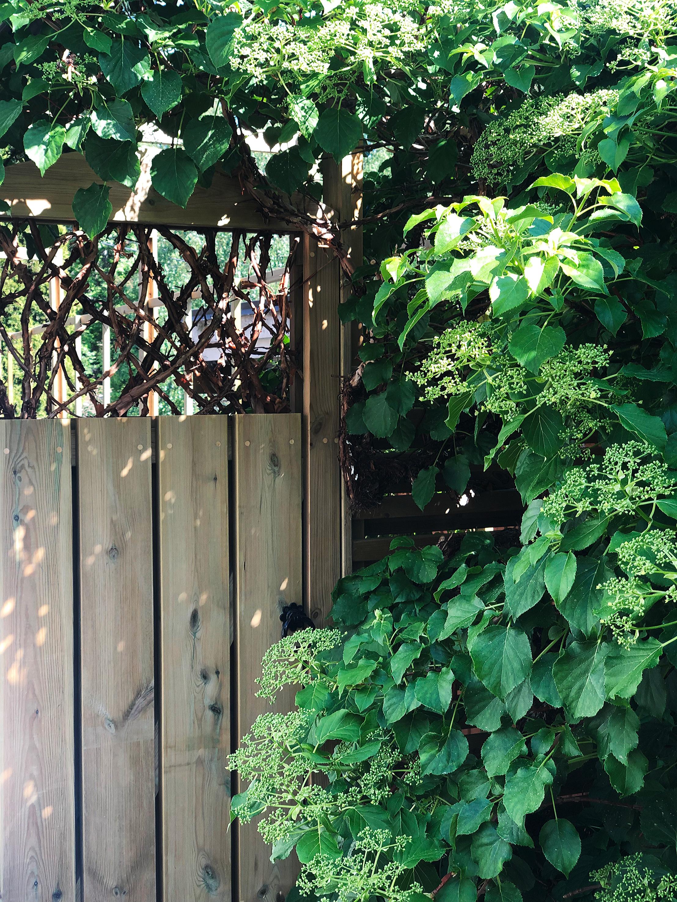 Trädgårdsdörr, klätterhortensia, garden door, hydrangea