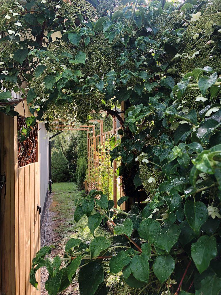 Klätterhortensia, trädgårdsdörr, spaljé. Trädgårdsarbete. Trädgårdsrum.